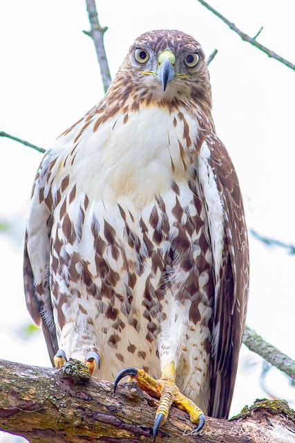 Juvenile Redtail Hawk-1