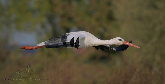 Ciconia ciconia - Cicogna Bianca - White Stork