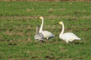 Laululuigepere / Whooper swan / Cygnus cygnus / Common swan