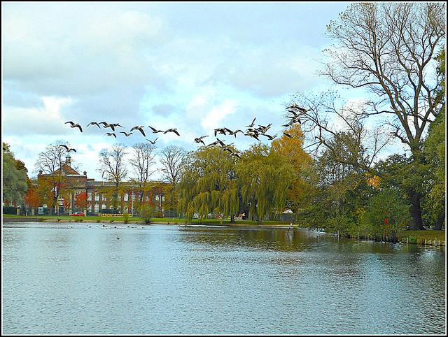 Geese In Flight ..