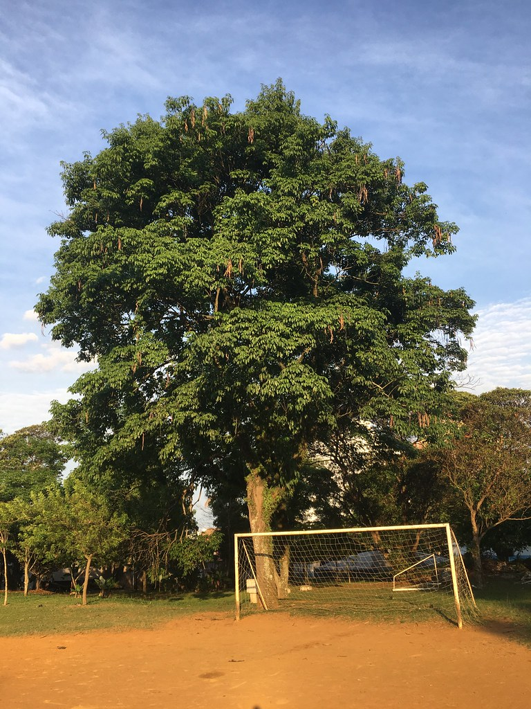 "Ipê-roxo, Pau-d´arco, Brazilian-walnut, Lapacho-rojo , ""Handroanthus impetiginosus"""