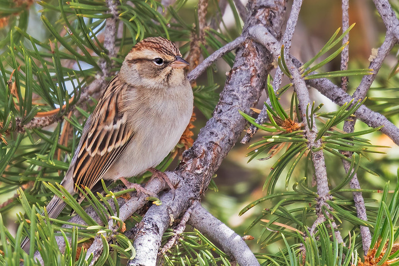 Chipping-Sparrow-74-7D2-100319