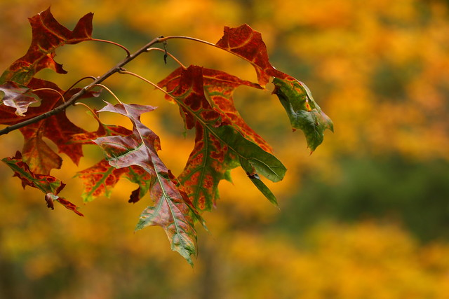 Autumn leaves at Rhinefield Arboretum, New Forest