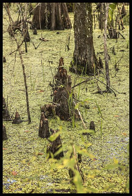 Lake Woodruff NWR #8 2019; Cypress Trees & Cypress Knees