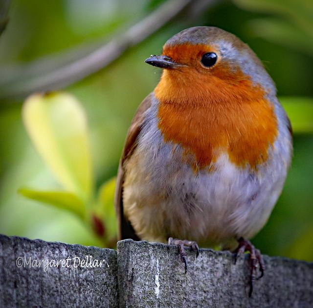 Robin , Britain's Favourite Bird.