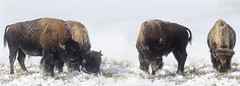 70 x 25 Bison