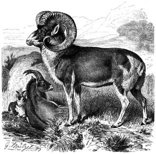 800px-Marco_polo_sheep_line_drawing