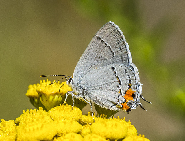 Grey Hairstreak - Strymon melinus (Lycaenidae, Theclinae, Eumaeini) 111s-4408