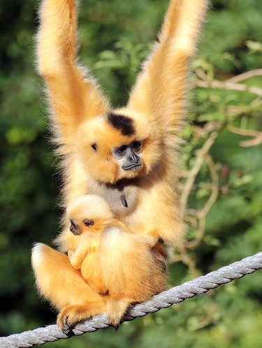 yellowcheeked gibbon artis BB2A0095