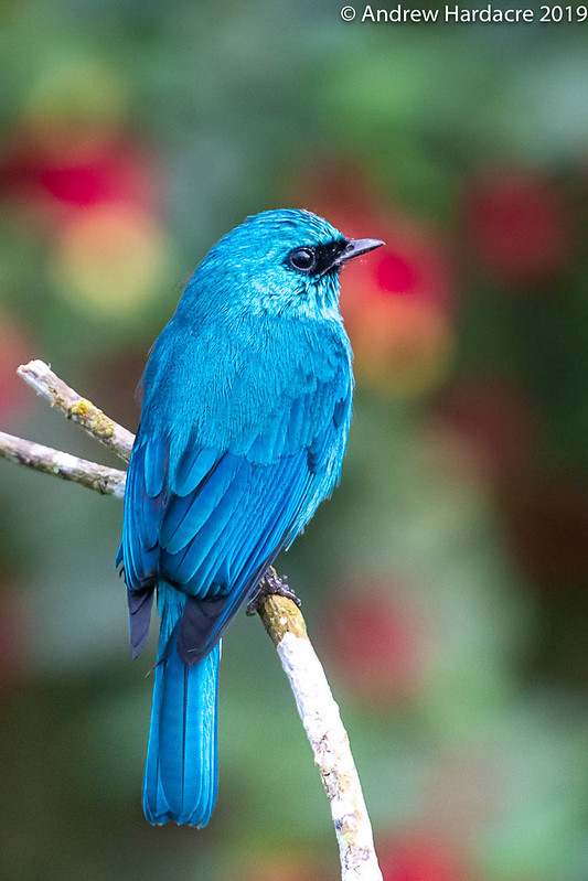 Verditer Flycatcher - male