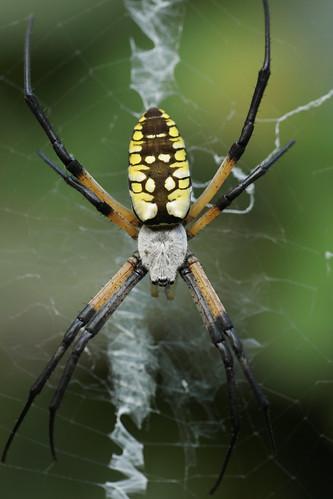 arthropoda arachnida araneae araneidae argiope argiopeaurantia spider blackandyellowargiope northcarolina piedmont canonef180mmf35lmacrousm arachtober inaturalist