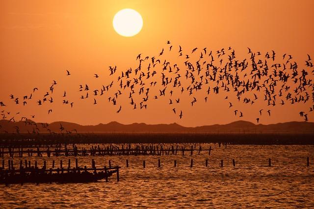黑腹燕鷗與夕(Chlidonias hybrida sunset)。