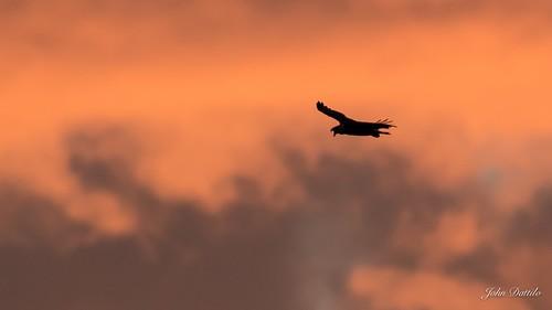 Bald eagle screams at daybreak