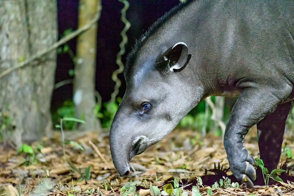 South American Tapir (Tapirus terrestris), female