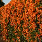 Orange Trumpet Vine.