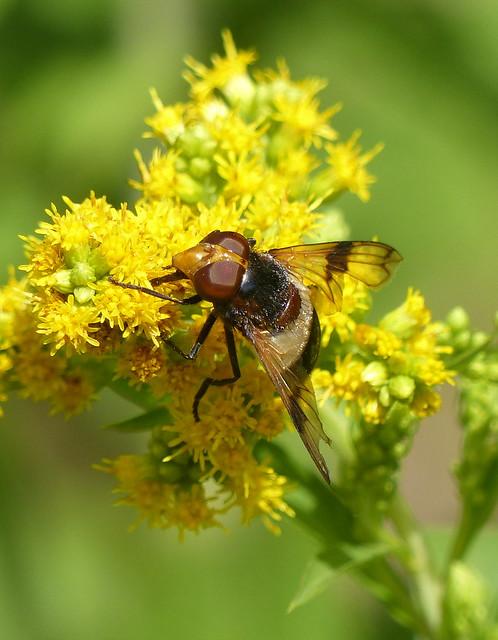 Pellucid Fly On Goldenrod - Gemeine Waldschwebfliege auf Goldrute