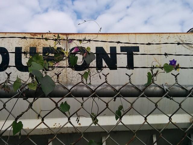 Morning glory behind wire (1) #toronto #dovercourtvillage #dupontstreet #flowers #purple #morningglory