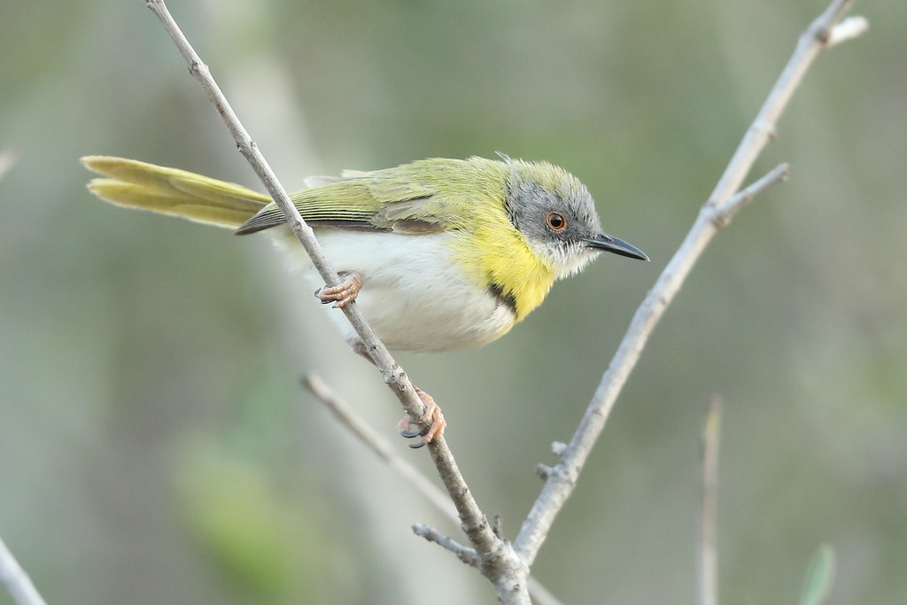 Yellow-breasted Apalis 2