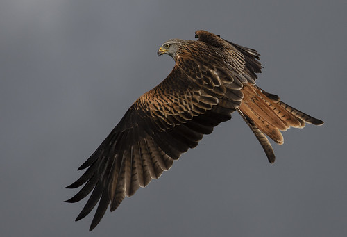redkite red birdofprey sky wildlife wild wings beautiful raptor naturephotography