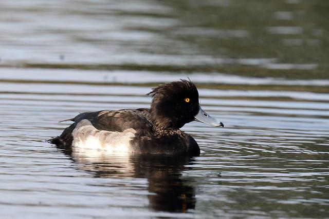 Tufted Duck (Aythya fuligula) - male