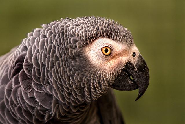 Profile African Grey Parrot 3-0 F LR 9-22-19 J018