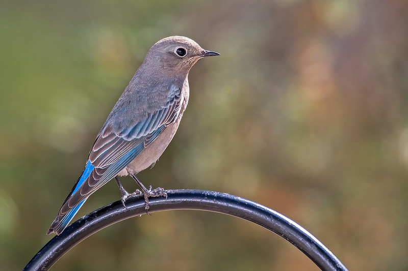 Mountain-Blue-Bird-35-7D2-092219