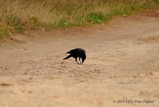 Un cuervo por el camino