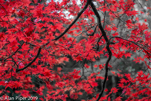 Autumn Acer | by PapaPiper