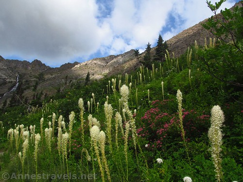 Beargrass and other wildflowers in the Swiftcurrent Amphitheater, Glacier National Park, Montana