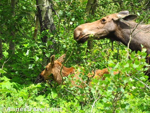 The part of the group that didn't do the entire hike did see a mother and baby moose! Swiftcurrent Pass Trail, Glacier National Park, Montana
