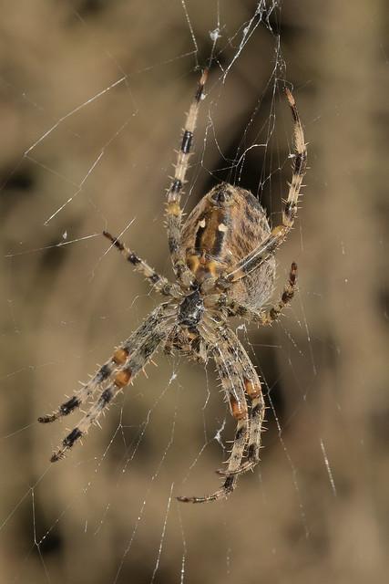 Arachtober 30th - Araneus diadematus