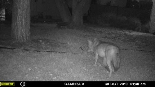 coyote-20191030-150
