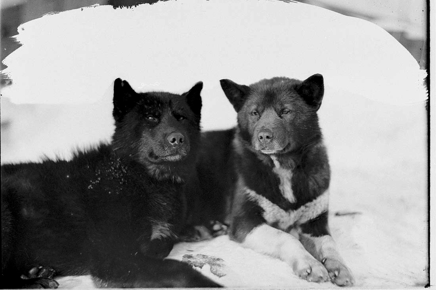 Basilisk and Ginger, sled dogs on the Australian Antarctic Expedition, by Frank Hurley, c. 1912