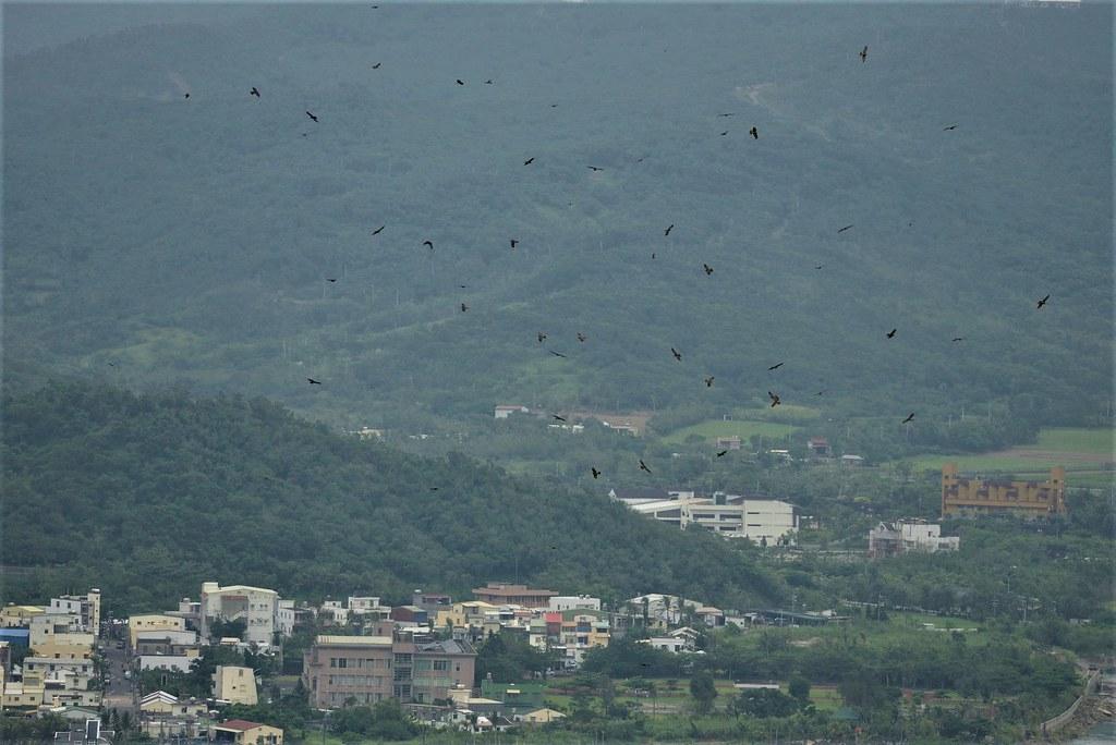每年國慶日前後過境台灣的灰面鵟鷹,並有大量族群停留滿洲鄉夜棲。攝影:楊建鴻