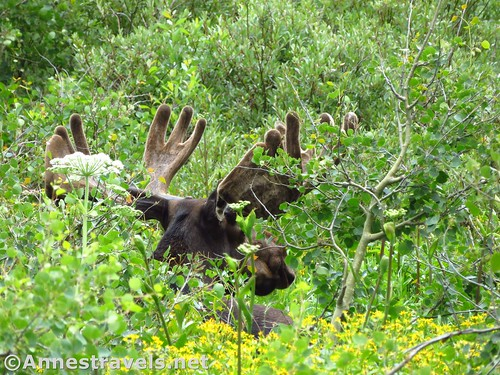 Moose along the Swiftcurrent Pass Trail, Glacier National Park, Montana