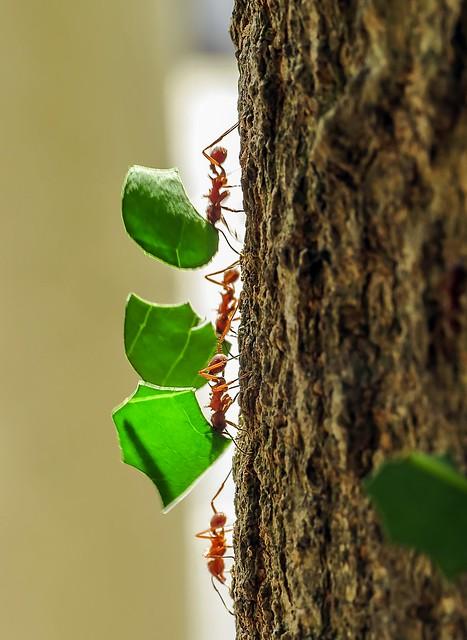 Formigas com folhas