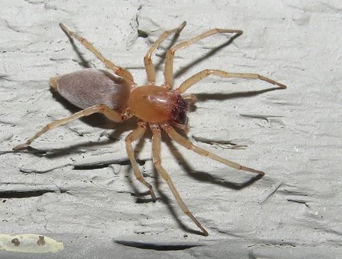 Sac spider female