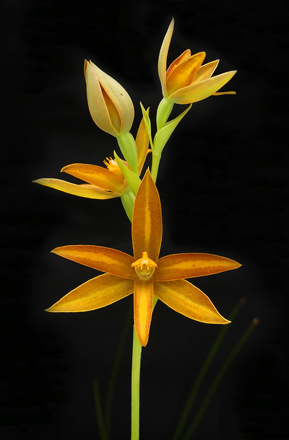 York Sun Orchid - Thelymitra yorkensis