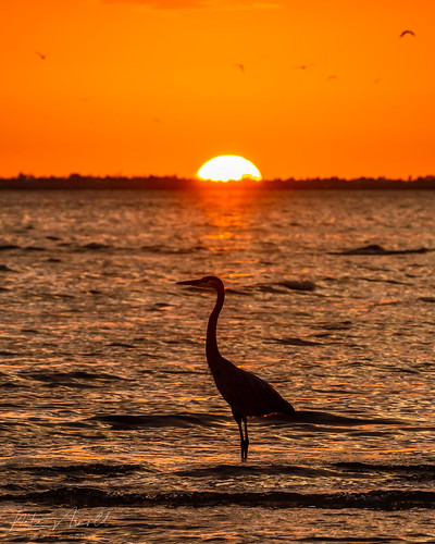 beach bunchebeach d500 florida floridanature floridawildlife fortmyers fortmyersbeach natearnold natearnoldphotography nikon nikond500 feathers wildlife wildlifephotography wings water waterbird wadingbird wetland waves sunset sunrise sun birdphotography bird birding birds nature naturephotography heron greatblueheron