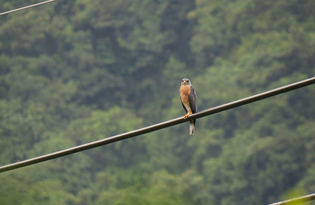 小小赤腹鷹,經過發報器追蹤,每年為了繁殖、度冬,橫跨中國山東到印尼蘇拉維西島。攝影:蔡岱樺