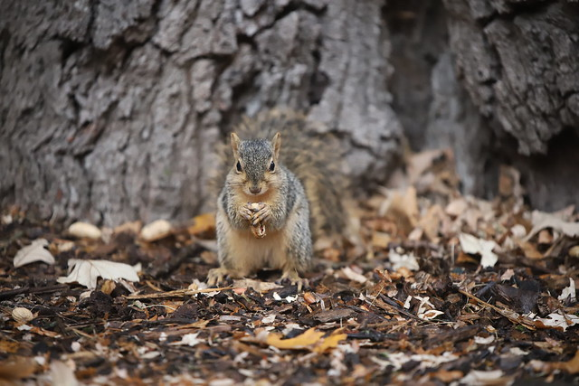 141/366/4158 (October 30, 2019) - Juvenile and Adult Fox Squirrels on a Rainy Ann Arbor Day at the University of Michigan - October 30th, 2019