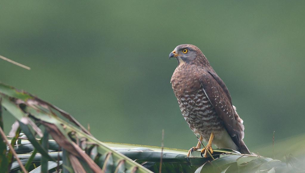 灰面鵟鷹10月過境來台時,最大的威脅曾是人為獵捕。(資料照片)攝影:陳王時;北觀風景區管理處、台北鳥會提供