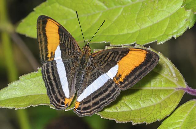 Smooth-banded Sister - Adelpha cytherea (Nymphalidae, Limenitidinae, Limenitidini - 108h-1691
