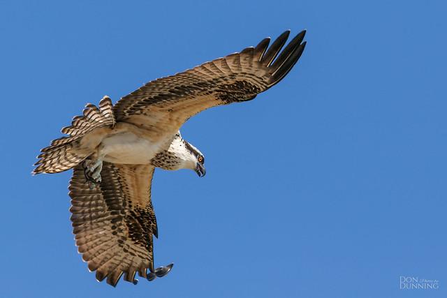 Osprey Fledgling (Pandion haliaetus)