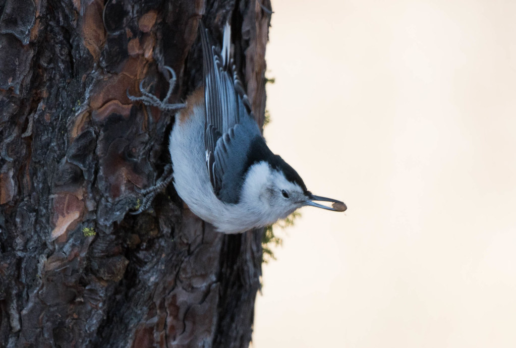 White breasted nuthatch (1 of 1)