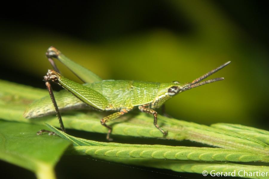 Pseudomorphacris sp.