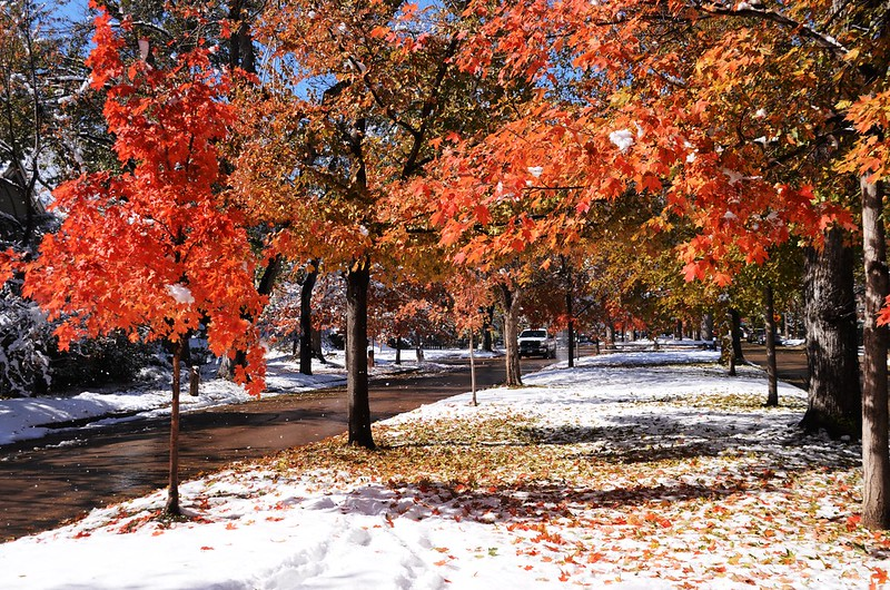Maple in Fall after snow, Boulder (51)