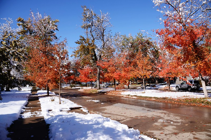 Maple in Fall after snow, Boulder (47)