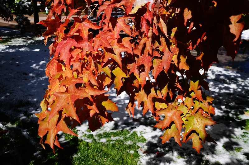Maple in Fall after snow, Boulder (25)