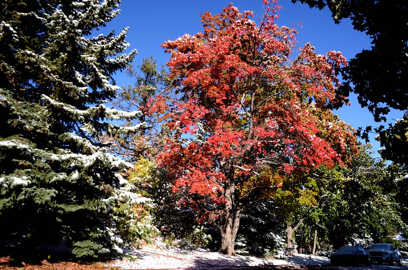 Maple in Fall after snow, Boulder (1)